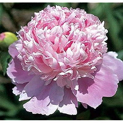 AchmadAnam - Live - Mons Jules Elie Peony - Pink Double Peony. E20 : Garden & Outdoor