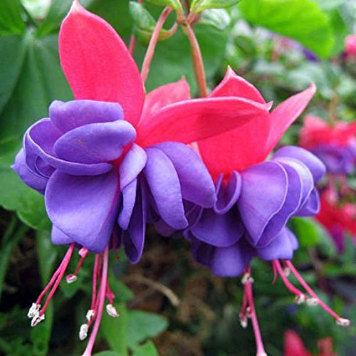 Live Plants: Fuchsia Blue Eyes One of the standards that never gets old!!Always beautiful