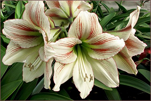 Amaryllis Bulb Red and White Amaryllis Moon Scene - 26/28cm Bulb - Outstanding Indoor Blooms - FAST Blooming!