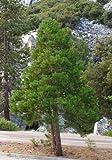 New Incense cedar , Calocedrus decurrens , Tree 20 + Seeds ( Hardy Fragrant Evergreen )