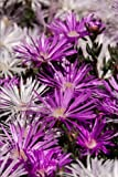 Pretty Purple Pig Face Flowers Carpobrotus glaucescens Garden Journal: 150 Page Lined Notebook/Diary