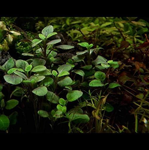 Greenpro Lobelia Cardinalis Dwarf 3 Bundle Freshwater Live Aquarium Plant Purple