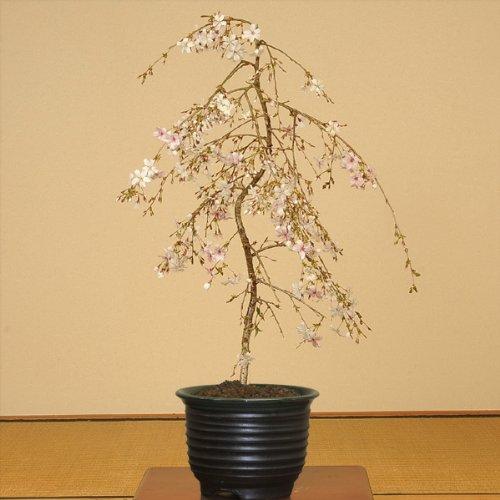 盆栽:しだれ桜(富士桜)瀬戸焼黒釉深鉢*【春に開花】 B007CEIKR2