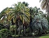 Phoenix rupicola Cliff Palm 10 seeds