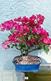Bougainvillea Large Bonsai Tree From Indoorbonsaiandexotics