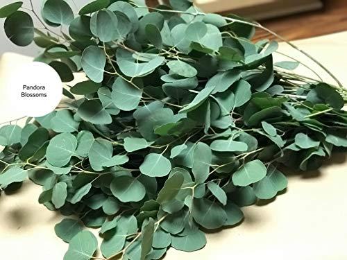 Fresh Silver Dollar Eucalyptus 50 Stems-Bulk Greenery, DIY]()