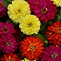 Outsidepride Zinnia Zahara Double Brilliant Flower Seed Mix