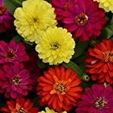 Outsidepride Zinnia Zahara Double Brilliant Flower Seed Mix - 50 Seeds