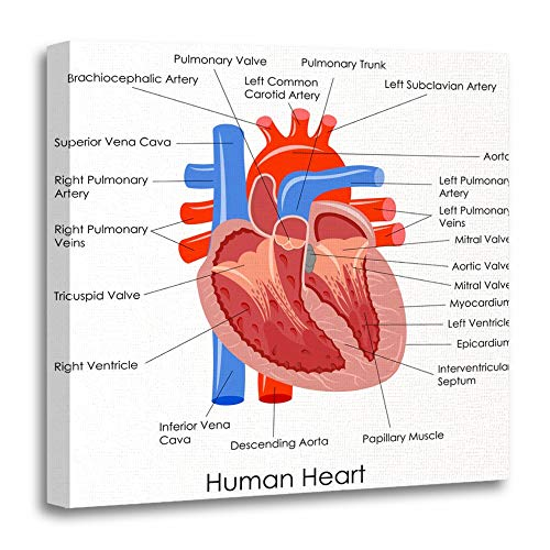 Emvency Painting Canvas Print Wooden Frame Artwork Decorative Anatomical of Diagram Human Heart Anatomy Body Muscle Organ Coronary Cardiac 20x20 Inches Wall Art for Home Decor for $<!--$37.80-->