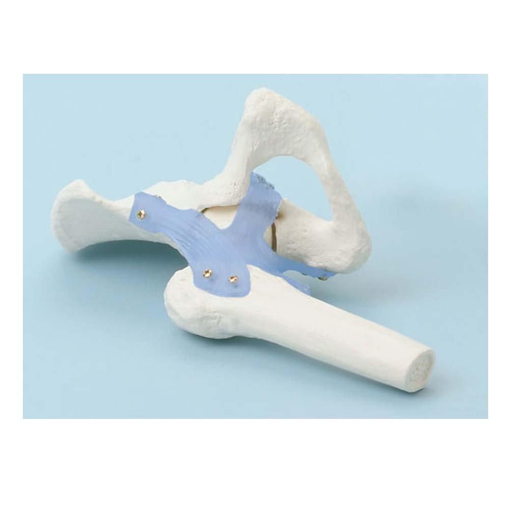 Anatomie Modell Hüftgelenk mit Bändern, menschliche Hüfte, beweglich ...