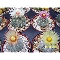Astrophytum asterias súper kabuto MIX rara variedad cactus semilla cactus 100 semillas