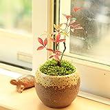 プチ盆栽:南天 茶丸鉢