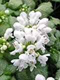 White Nancy Creeping Lamium-Live Plant-Perennial- 4""