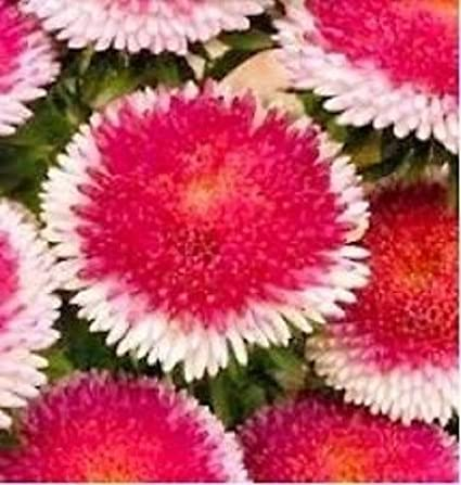 30 RED POMPON ASTER PERENNIAL FLOWER SEEDS