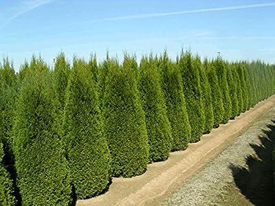 Italian Cypress Tree Seeds, Fast Growing