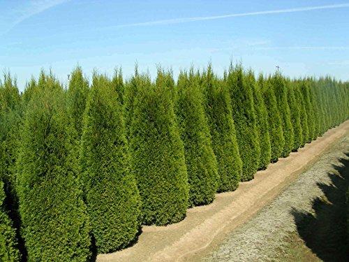 (1,000 Italian Cypress Tree Seeds, Fast Growing)