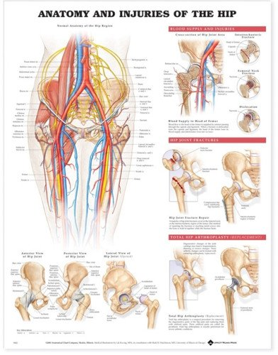 Amazon Anatomy And Injuries Of The Hip Anatomical Chart