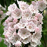 "Evergreen RHODODENDROM-Mountain Laurel ~Pink~ ""Kalmia"" ~Very Hardy~ 30+ Perennial Seeds"