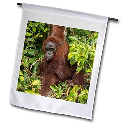 3dRose Danita Delimont - Orangutans - Indonesia, Borneo, Kalimantan. Female Orangutan. - 18 x 27 inch Garden Flag (fl_312728_2)