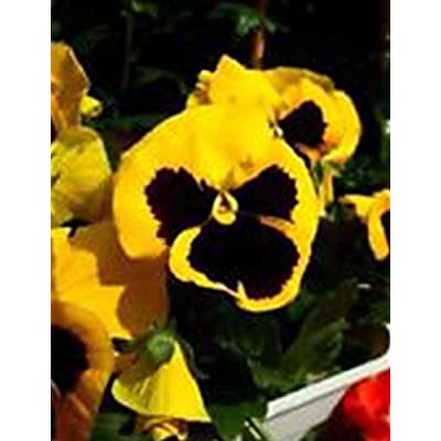 QiBest New Nice Adorable Flower Fragrant Seeds Fragrant Blooms Pansy Seeds Flowers : Garden & Outdoor