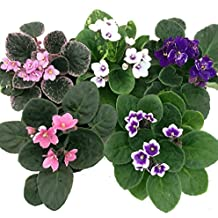 "Novelty African Violet - 4"" Clay Pot/Better Growth - Best Blooming Plant"