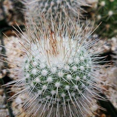 Mammillaria geminispina Cactus Cacti Succulent Real Live Plant : Garden & Outdoor
