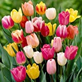 Rainbow Mix Tulip Flower Seeds 50 Stratisfied Seeds