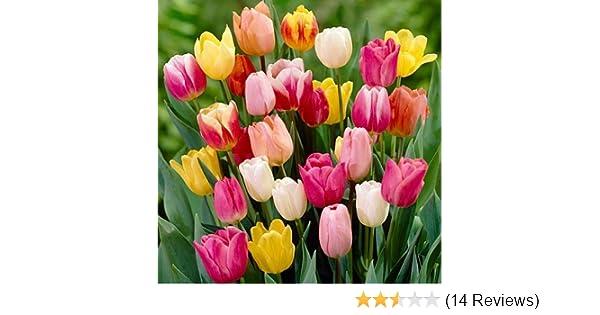 Amazon Com Rainbow Mix Tulip Flower Seeds 50 Stratisfied Seeds