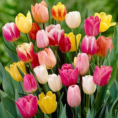 amazon com rainbow mix tulip flower seeds 50 stratisfied seeds