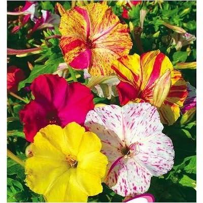 SD1369 Rare Yellow Jasmine Seeds, Four-o'clock Seeds, Live Flower Seeds, Non-Genetically Modified Seeds (20 Seeds) : Garden & Outdoor