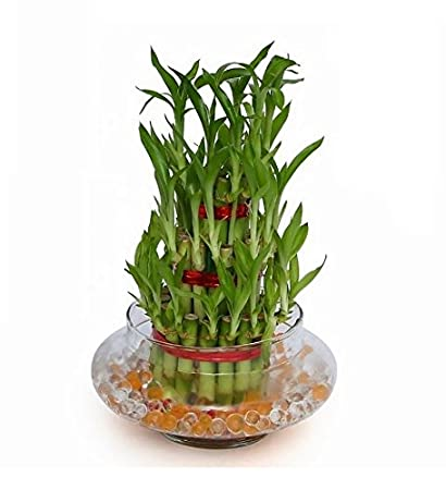 Green plant indoor 3 Layer Lucky Bamboo Plants: Amazon.in: Garden ...