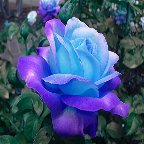 Lysee 100 Pcs Midnight Supreme Rose Seeds Potted Flower Seed Purple Rose Seeds for Home Planting