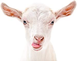 Goat Showing Tongue Cute Funny Farm Animal Face Portrait Photo Cool Wall Decor Art Print Poster 12x18