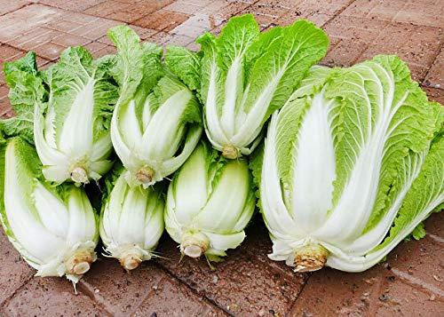 150+ ORGANICALLY Grown Michihili Chinese Cabbage Seeds, Heirloom Non-GMO, aka Napa, Celery Cabbage, siew Choy, Won bok, sawi, hakusai, baechu, pak GAHD kow, CAI bac Thao, 70 Days. Ships from USA ()