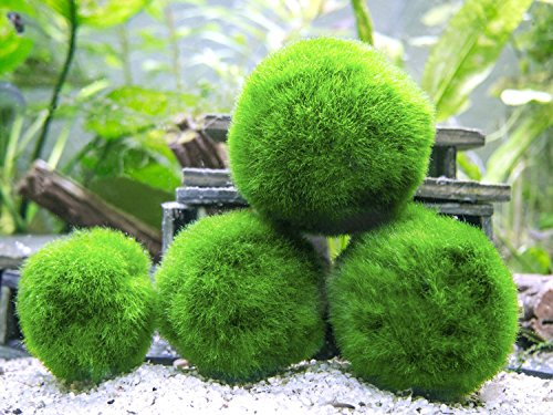 10 Marimo Moss Balls -  Aquarium Ball Set, 1 Inch Each. Unique Decor for Aquariums and Glass Jar Terrarium Kits. Natural Habitat / for Live Fish, Pet Shrimp, Sea Monkeys, ()