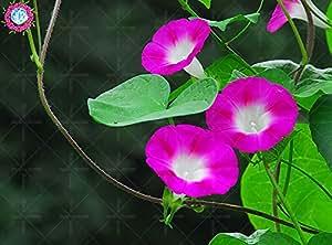 100 PC / bolso doble pétalos de petunia semillas semillas de flores de maceta bonsai altura Corto flores del jardín semillas de plantas de interior o ourdoor 4