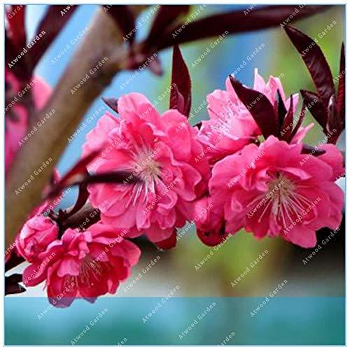 Pinkdose ZLKING 10PCS Flowering Plum Prunus triloba Potted Planting Flowering Plum Tree Flower Flowering Plants ()