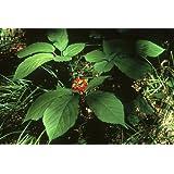 25 seeds of Panax quinquefolius, American Ginseng