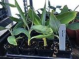Ice Cream Banana Plant - Live Banana Tree''Ice Cream'' Rare Banana Plant