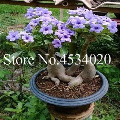 Amazon.com & Seed - NOT Plant - Best Quality - Bonsai - Pcs Desert Rose Flores Potted Flowers plantas Adenium Obesum Indoor Bonsai Plant Mini Potted Tree for Home ...