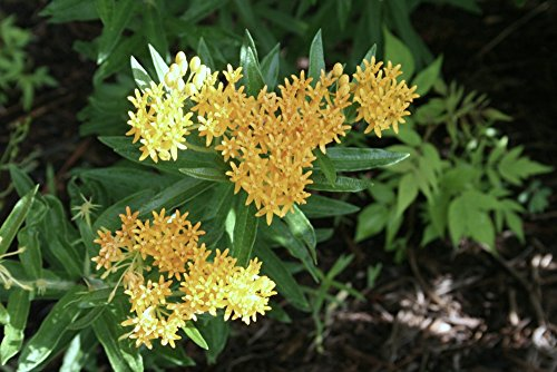 Asclepias tuberosa 'Hello Yellow' Butterfly Weed (1 Order Contains 2 Potted Plants)