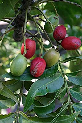 10 Seeds Harpephyllum caffrum African Wild Plum Fruit Tree