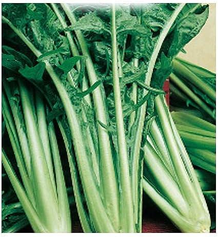 5000 Sementi Circa Semi agricoli Cichorium Intybus Cicorie Semi Cicoria Catalogna Puntarelle di Galatina