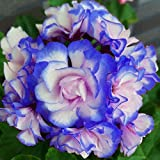 Yiiena 10pcs Geranium Seeds Pelargonium Hortorum Flower Seeds Garden Potted Plants (02)