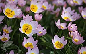 5 Starter Plants of Tulipa Bakeri Lilac Wonder