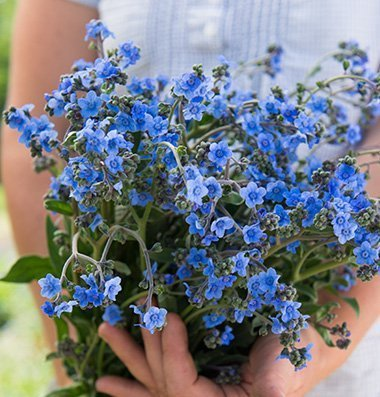 David's Garden Seeds Flower Cynoglossum Chinese Forget Me Not D1931 (Blue) 200 Open Pollinated Seeds
