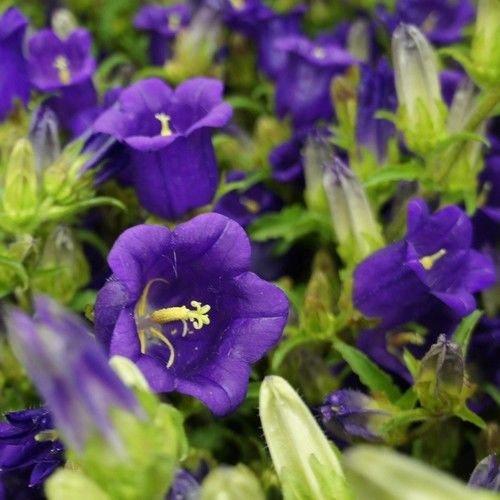 Canterbury Bells Blue Flower Seeds (Campanula Medium Blue) 200+Seeds