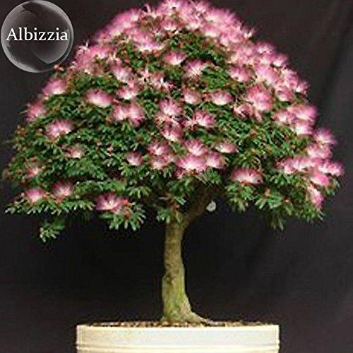 Solution Seeds Farm Silk Floss Tree Albizzia Julibrissin Bonsai Nemu Tree, 10 Seeds, ornamental albizia flower mimosa tree (SEEDS) Not - Ornamental Silk