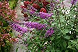 InSpired Violet Butterfly Bush (Buddleia) Live Shrub, Purple Flowers, 4.5 in. Quart