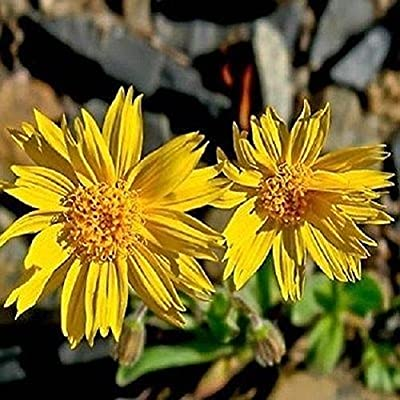 "150+ Coreopsis ""Sunburst"" Seeds ~Yellow Decorative Flower ~Perennial ~Easy"